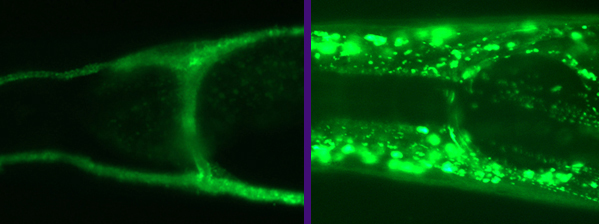 Left: Expression of glt-3 in the canal cell    Right: Expression of glt-1 around the nerve ring